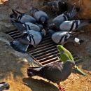 golobi imajo konkurenco v številnih papigah