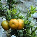 mandarine so že