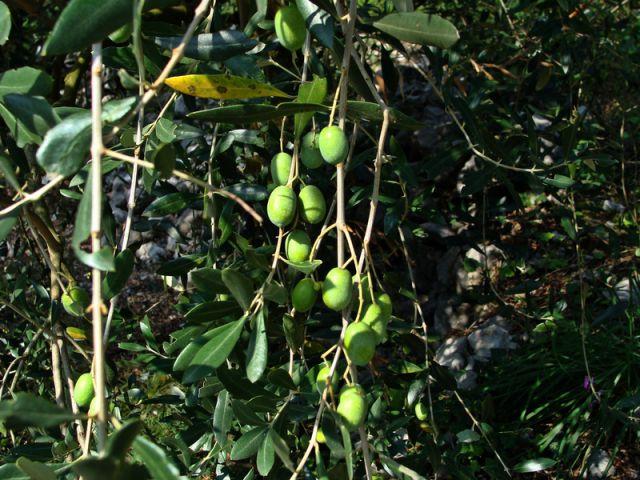 Mimo oliv do stene