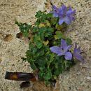 rastejo rožice in klini