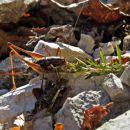 tudi kobilice obožujejo timijan