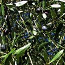 olivec bo