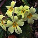 oh ko bi le bila znanilka pomladi, razveseli pa tudi pred zimo