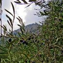 preboj med olivami do sten
