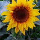 sončnica