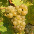Sedaj sem grozd, potem bom vino.