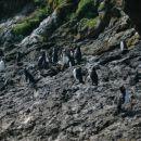 Pri plutju s čolnički okoli Chiloa smo našli pingvine!!!