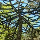Krošnja Monkey puzzle tree od blizu