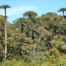 Značilno drevo