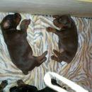 Koteni: 05.03.2008  4x Črni   3x Rjavi ( 2 samicki)