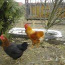 petelin in navadna kokoš