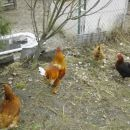 holandska pritlikava kokoš,navadna kokoš,nesnicain petelin