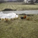 kokoši na paši