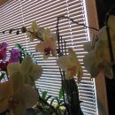 ORHIDEJE-pomlad 2007
