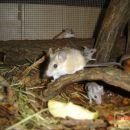 bodičaste miške