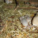 bodičaste miške z mamico insinčki