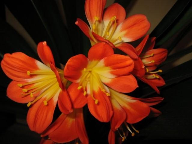 Klivija cvetiii (februar 2006) - foto