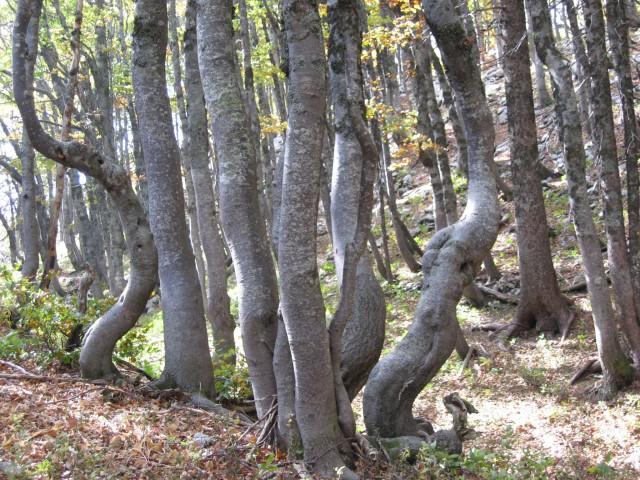 Zopet v gozdu - šopek debel
