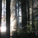 žarki v gozdu