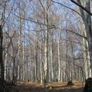 gozd panjevec
