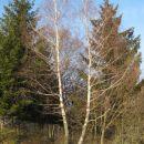 brezov par