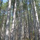 borov gozd na začetku poti