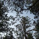 kofetkanje pod borovimi krošnjami in ob petju ptic