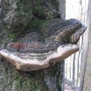 drevesna goba