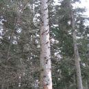 umirajoče drevo