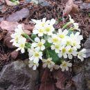 pa še pomladni šopek