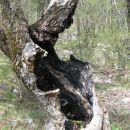 ožgano votlo deblo vrbe