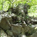 korenine v skalah