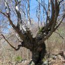 zanimivo drevo
