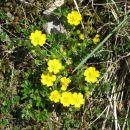 drobno rumeno cvetje, ki mu ne vem imena