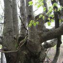 drevesa na rešljevi planini