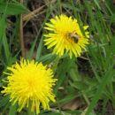 pridne kot čebelce