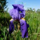 perunike so tudi še v polnem cvetu