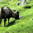 star kozu na paši