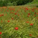 žitna polja vaščanov gradinja so rdeča od maka