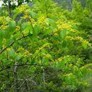 rumeno cvetoče grmovje