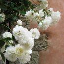 bela vrtnica