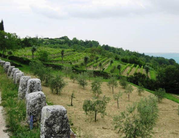 Oljčni nasadi in vinogradi ob cesti proti dolini