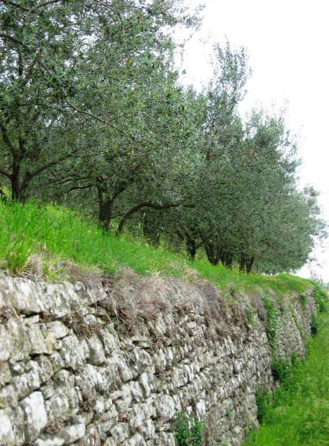 Ob cesti je res polno oljčnih nasadov