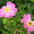 divje vrtnice v dežju