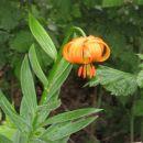 kranjska lilija (zlato jabolko)