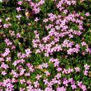 cvetna blazina