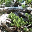 korenine ruševja
