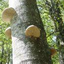 drevesne gobe