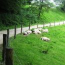ovce so kar obležale