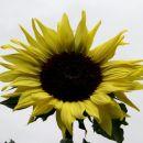 sončnica pri anici, 21.7.2012